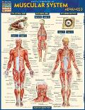 Muscular System Advanced Laminated Reference