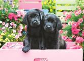 Black Labs in Pink Box Puzzle