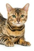 Bengal: Cat - 2020 Weekly Calendar - 12 Months - 107 pages 6 x 9 in. - Planner - Diary - Organizer - Agenda - Appointment - Ha