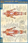 Muscular System Quickstudy 4x6 Size
