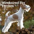 Wirehaired Fox Terriers 2020 Square